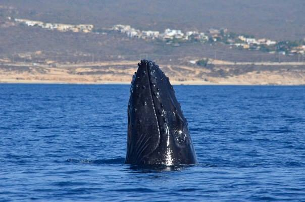 Whale Head Slap - Baja International Realty - BIRCabo