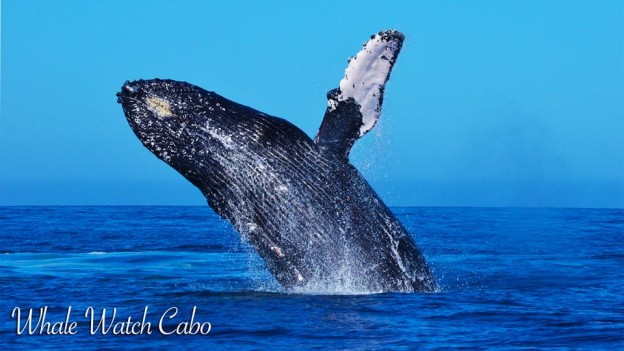 Whale Watching in Cabo - Baja International Realty - BIRCabo